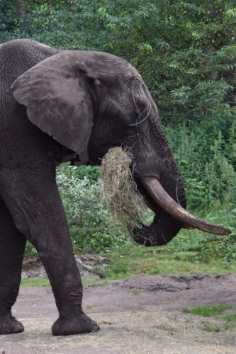 Notebook African Elephant Eating Breakfast Continental Domino