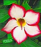 BALDUR-Garten Wüstenrose 'Noble Concubine', 1 Pflanze Adenium obesum