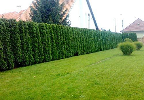 Portal Cool Thuja occiis 5000 Seeds: Thuja Baum Thuja occiis Samen Baumgarten Hedgerow