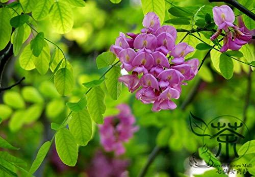 Shopmeeko Sehr beliebte Robinia Hispida, 100 Stück/Beutel, Zierpflanze Borstige Heuschrecke, Familie Fabaceae Rose-Akazie, Moss Locust