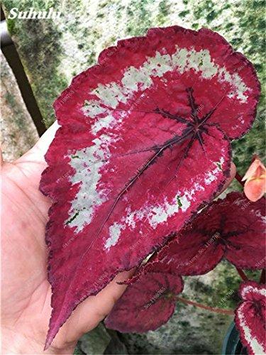 120 Pcs Belle Graines Begonia Bonsai Fleurs Plantes en pot Begonia pour le jardin Balcon coleus Graines Beauté Votre jardin personnel 13