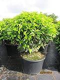 Prunus lusitanica angustifolia Kugel - Portugiesische Lorbeerkirsche Kugel