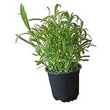 Einjähriger Estragon: kräftige Estragon-Pflanze im großen Topf vom Gärtner - Kräuter in Küche - Saucen-Kraut - Spargel-Kräuter - kräftiges Würzkraut