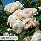 Kletterrose 'Uetersener Klosterrose' (Premium) - cremeweiß blühende Topfrose im 6 L Topf - frisch aus der Gärtnerei - Pflanzen-Kölle Gartenrose