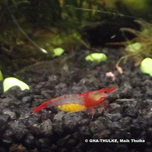 "GARNELEN : Neocardina davidi"" Red Rili""- Red Rili Zwerggarnelen/Red Rili Shrimp 5 Tiere"