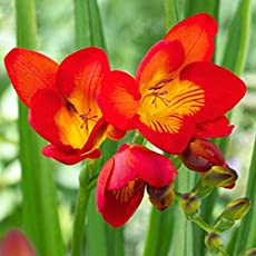 Kraft seeds Freesia Graceful, Fragrant flowers Grown from Bulbs (RED) - 15 Bulbs in One Box