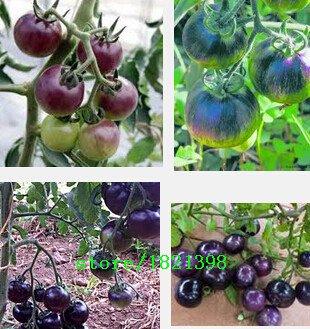 100pcs / lot Tomatensamen, Hell Kaffee Gemüsesamen Topfpflanze Hausgarten