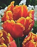 Papagein Tulpen Bright Parrot Tulpenzwiebeln (20 Blumenzwiebeln)