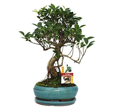 Bonsai Chinesischer Feigenbaum - Ficus retusa - ca. 8 Jahre