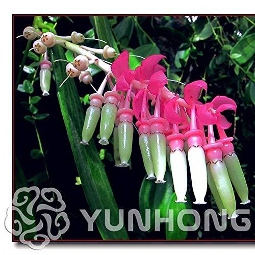 Bloom Green Co. Blumen Bonsai Rich-Bonsai Ardisia Crenata Eisen Parasol Big luo Regenschirm roten Sonnenschirm Bonsai 50PCS / Bag Bonsai-Baum-Dekor: MIX