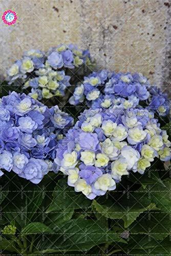 homely 10 pz/borsa fiore ortensia, giardino semi di ortensia balcone fiore tasso di erba 97 facile da coltivare: 5
