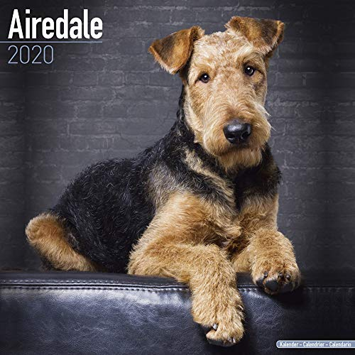 AIREDALE TERRIER DOG 2020 CALENDAR WALL SQUARE (30cm x 30cm) NEW AND SEALED BY AVONSIDE CALENDARS