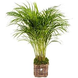 FloraAtHome - Grünpflanze - Areca - Dypsis lutescens - Goldfruchtpalme - 85cm hoch