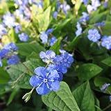 Blumixx Stauden Omphalodes verna - Frühlings-Gedenkemein, im 0,5 Liter Topf, blau blühend