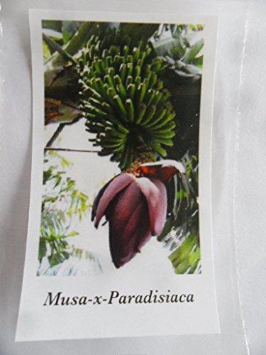 Musa X Paradisiaca, klassische Essbanane für drinnen und draussen, 5 Samen