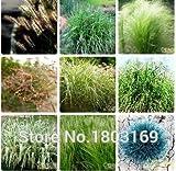 Las hierbas ornamentales semillas, conejito colas Lagurus ovatus 100 semillas * Bonsai adorable hierba ornamental, envío libre!