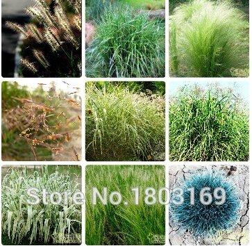 graminees-ornementales-graines-lapin-tails-lagurus-ovatus-100-graines-herbe-bonsai-adorable-ornement