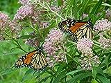 AGROBITS 35 semi di Rare Woodson Palude del latte perfetto per giardini! Save The Monarch !!