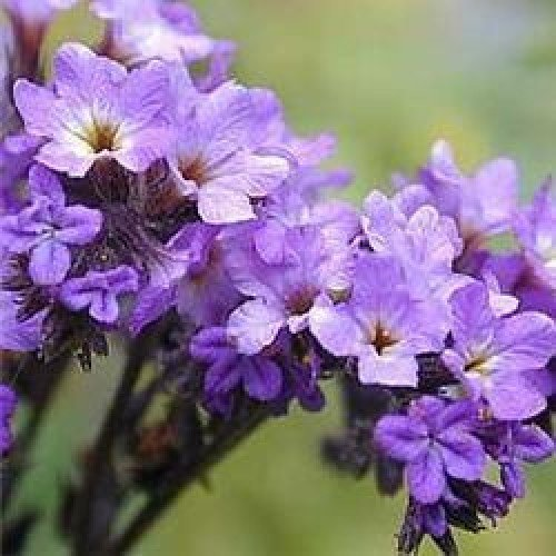 herb-seeds-heliotrope-200-seeds