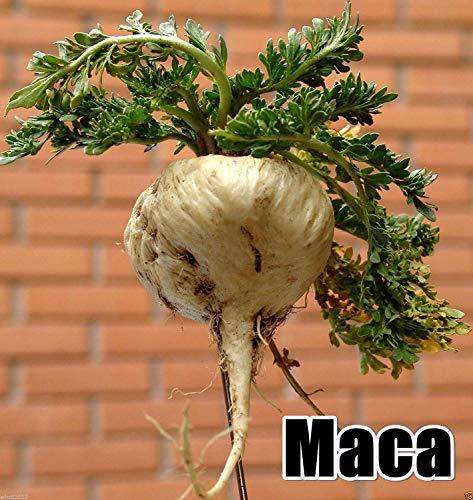 CUSHY Las semillas de maca, ginseng peruano, 200 semillas, Superalimentos peruana, fácil de cultivar!