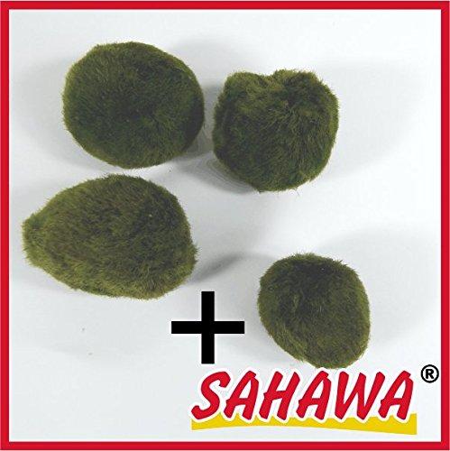 Mooskugeln im Set, Cladophora aegagropila, Cladophora-Ball , Marimo, Algenball, Wasserpflanzen von SAHAWA® (Set 1 (3+1))