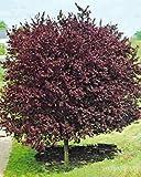 Portal Cool 10 Semi Cherry Plum - Mirabolano albero