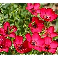 100 Samen Prachtlein Roter Lein Linum Grandiflorum