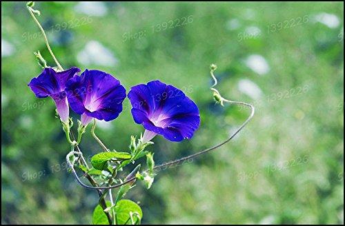 Sanguna nil Blue