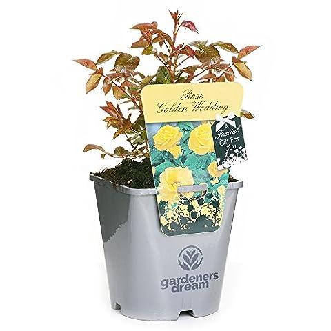 GOLDEN WEDDING - GardenersDream® Potted Gift Rose Wedding / Anniversary