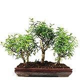 Chinesischer Pfefferbaum-Wald, Zanthoxylum piperitum, Indoor-Bonsai, 13 Jahre, 32 cm Höhe