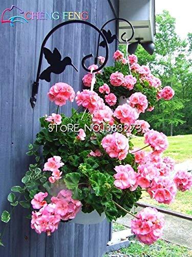 Green Seeds Co. Grand Promotion 20 pcs/lot Frais Véritable Geranium plantes Pelargonium Fleur plantes Bonsaï Plantes Pour La Maison Jardin Cadeau: Violet