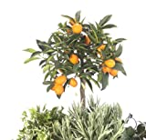 Kumquat-Stämmchen, 1 Pflanze
