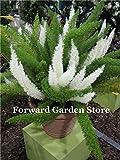 100 Pcs coda di volpe Fern, Bambu Blu Inverno erbe ornamentali Seeds Seeds Ing per la casa e giardino Seeds: 13