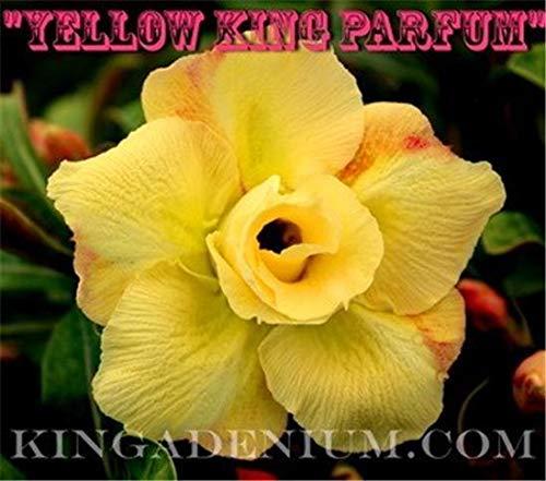 PLAT FIRM GRAINES DE GERMINATION: Adenium obesum ROSE DOUBLE DESERT FLOWER\