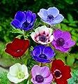 Anemonen de Caen, Farb-Mischung, 8x 20 Zwiebel, Größe 4/5 von Dominik Gartenparadies - Du und dein Garten