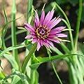 Haferwurzel (Bio-Saatgut) 20 Samen von Syringa auf Du und dein Garten