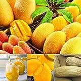 Swiftt 2pcs Mangobaum Samen Mango Samen Hausgarten Bonsai Pflanzen Obst Samen