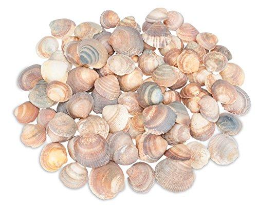 NaDeco Muschel Cockles braun ca. 3-5cm 1kg | Deko Muscheln | Muschelschalen | Fächermuscheln | Maritime Dekoration (Dekorative Fischernetz Braun)