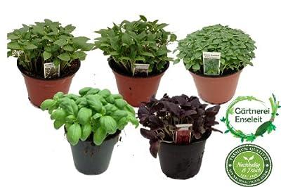 Exotic Basilikum Kräuterset, Ocimum basilicum, Sorten: Thai, Zitronen, Kleineblättriger, grün, rot von Weselerkräuterparadies bei Du und dein Garten