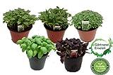 Exotic Basilikum Kräuterset, Ocimum basilicum, Sorten: Thai, Zitronen, Kleineblättriger, grün, rot