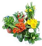 Frühlingsblumen Set 4, Primeln, Bellis Gänseblümchen, Vergiessmeinnicht, Tulpen & Narzissen