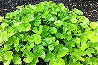 Vamsha Nature Care Brahmi, Mandukaparni, Centella Asiatica, The Medicinal Ayurvedic Herb Plant