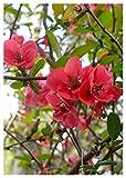TROPICA - Japanische Zierquitte (Chaoenomelis japonica) 50 Samen