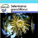 SAFLAX - Geschenk Set - Kakteen - Königin der Nacht - 40 Samen - Selenicerus grandiflorus