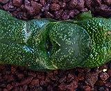 Portal Cool Gasteria CV Perle Armstrongii sélectionnée (par Exemple Langue Lizard Cultivar) Jp003 !!...
