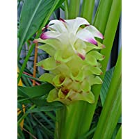 Kurkuma Curcuma longa gelber Ingwer Kurkume Pflanze 25cm Safranwurzel Gelbwurzel