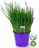 Schnittlauch, Marktfrische Pflanze, Allium schoenoprasum