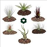 Exotenherz.de - Set di piante Tillandsia, confezione da 6