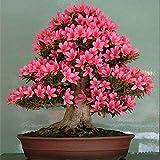 Etophigh Azaleenblumensamen für Haus und Garten, Bonsai, 4 Jahreszeiten, Grün, 10 Samen, 10 Seeds