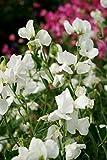 Fiore - Pisello Odoroso - Mammuth Bianco - 60 Semi